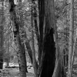"""""""Yosemite_tree"""" by Mun_Sing"""