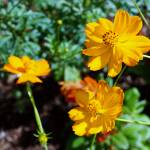 """Coreopsis Blooms"" by cinsings"