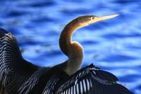 ANHINGA IN BLUE