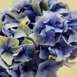 """""""Hydrangeas"""" by SMcElwee"""