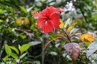 Rainforest Hibiscus