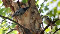 Two Nuthatch Birds