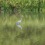 """Great Blue Heron Fishing"" by GlendinePhotography"