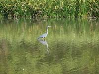 A Great Blue Heron Fishes