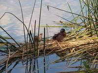 Ducks on a Reed Bed
