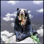 """Andean Bear"" by amira"