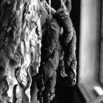 """Tobacco leaves drying"" by AROArizona"