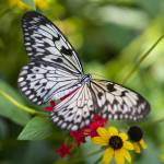 """Peaceful Butterfly"" by Groecar"