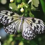 """Pretty Paper Kite Butterfly b"" by Groecar"