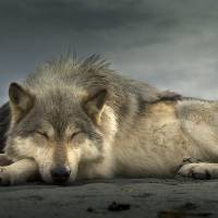 Wolf Nap Art Prints & Posters by Ian McAllister