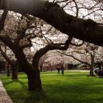"""UW Quad Cherries with Walkway, March 2007"" by Lairmistress"