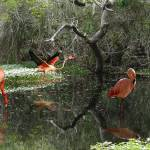"""Wild Flamingos of Florida"" by spadecaller"