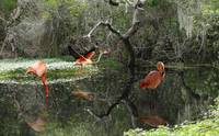 Wild Flamingos of Florida