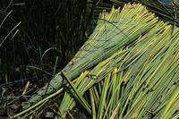 A Reed Raft in a Lake in Ibarra
