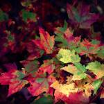 """Blushing Red"" by AROArizona"