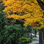"""""""Walkway Under A Canopy Of Yellow"""" by Kirtdtisdale"""