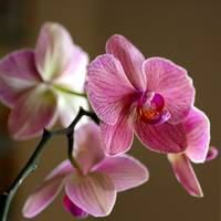 Whispering Orchid