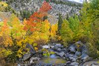 Fall Colors Along Bishop Creek
