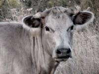 Portrait of a Girly Cow