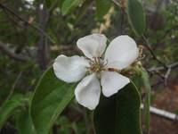 Apple blossom (4)