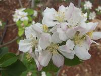 Apple blossom (7)