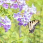 """Flutter On the Fall Phlox"" by GlendaBorchelt"