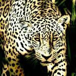 """Panthera pardus"" by thegriffinpassant"