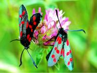 The Six-Spot Burnet Moths