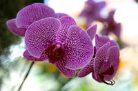 Striking Orchid