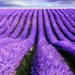 """""""Lavender straight"""" by artbyjames"""