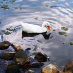 """""""Duck White solo"""" by globetrotter1"""