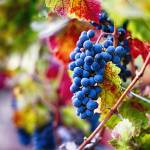 """Ripe Blue Grapes on the Vine"" by George_Oze"