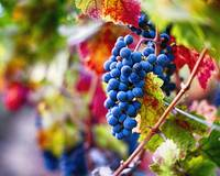 Ripe Blue Grapes on the Vine
