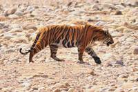Tiger On Dry River