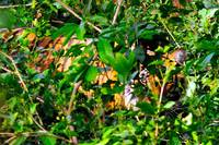Tiger Hidding, Piercing Eye Shinning