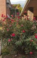 Rosebush Near Abandoned Building