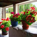 """Three Pots of Geraniums on Windowsill"" by susansartgallery"
