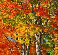 New England Sugar Maples