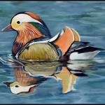 """Mandarin Duck on the Water"" by Littlepig"