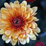 """Autumn Orange Mum Macro"" by KsWorldArt"