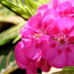 """Pink Geraniums in Sunlight"" by KsWorldArt"