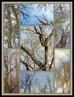 Tree Crowns Montage - Looking Up in Springtime