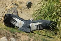 Andean Condor Spreading its Wings