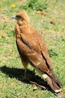 Juvenile Carunculated Caracara on Grass