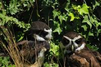 Pair of Spectacled Owls
