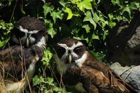 Two Spectacled Owls