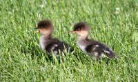 Baby hooded mergansers