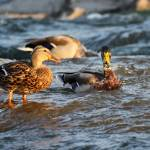 """Mallard ducks"" by cameragal"