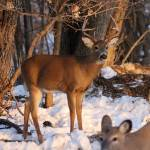 """""""Whitetail deer and stags"""" by cameragal"""