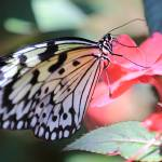 """Paper Kite Butterfly on Pink Flower"" by Groecar"